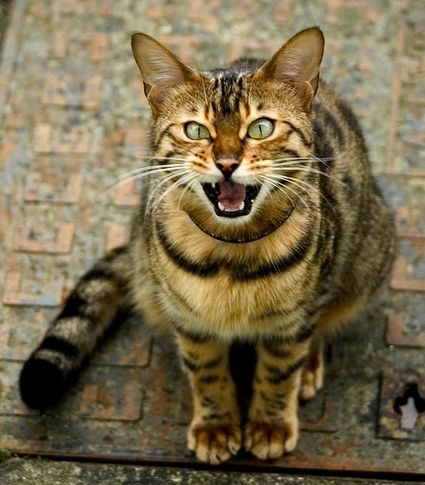 nyávogó cica