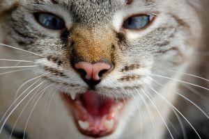 Macskanyelv- a macskák beszéde