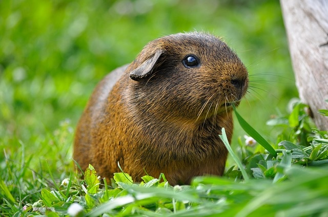 guinea-pig-498848_640