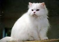 feher-perzsa-cica