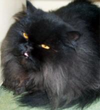 fekete-perzsa-cica