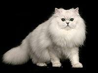 csincsilla-perzsa-cica