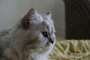 Perzsa cica vagy angóra: nem csak a hosszú szőr teszi a macskát