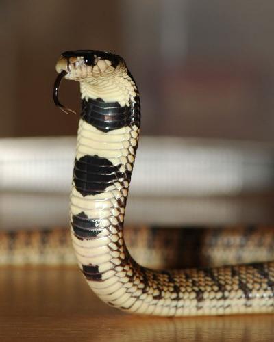 kígyó, kobra, terrárium