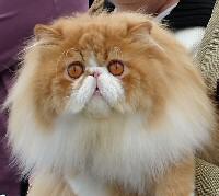 bicolor-perzsa-cica