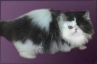 bicolor-perzsa-macska