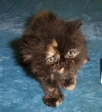 bicolor-perzsa-kiscica