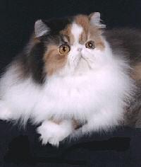 teknoctarka-perzsa-cica