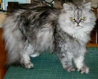ezust-cirmos-perzsa-cica