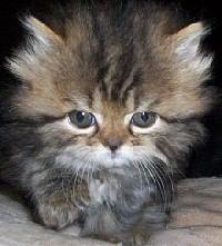 barna-cirmos-perzsa-kiscica