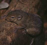 nyílfarkú mókuscickány