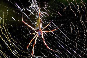 Nőstényóriás - Nephila komaci pók