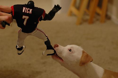 Fiatal pitbull önfeledten rágcsál egy rongy babát.