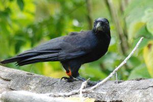 Miért okosabb a varjú, mint a többi madár?