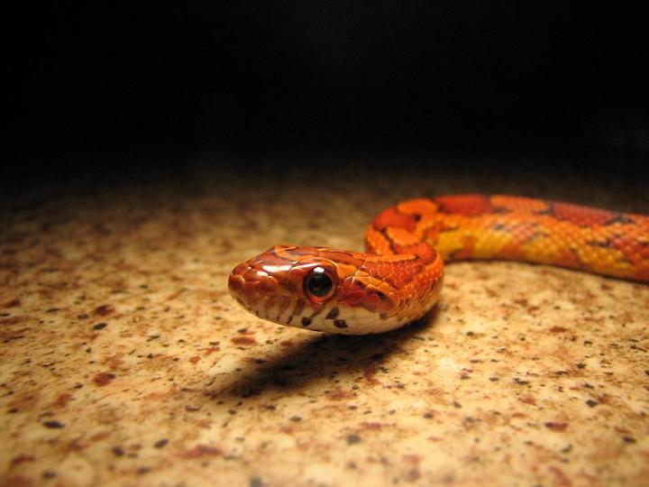hüllő, kígyó, gabonasikló