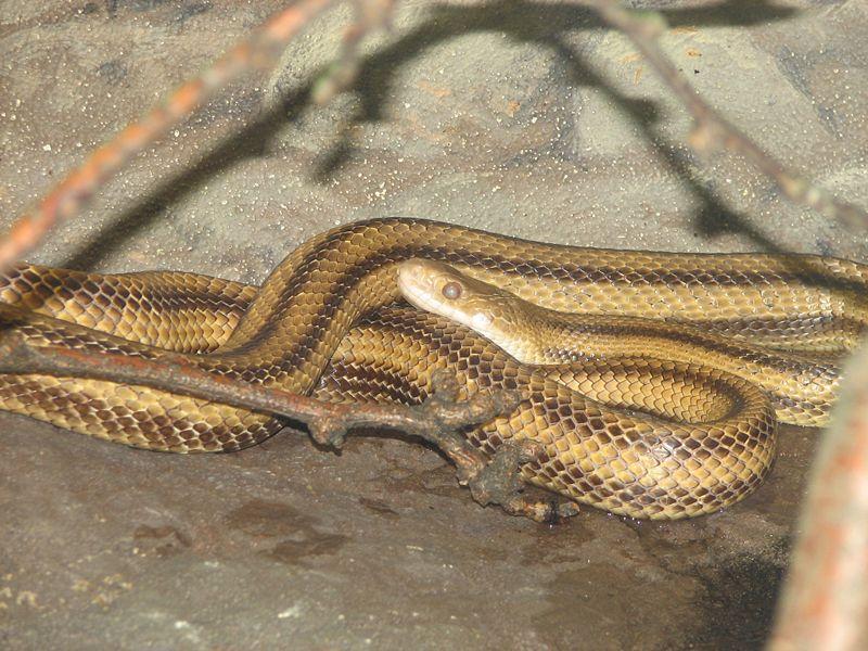 kígyó, terrárium, patkánysikló