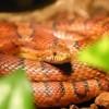 Kígyók a terráriumban: a patkánysikló és a tajvani sávosfarkú sikló