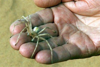 guruló pók, pók