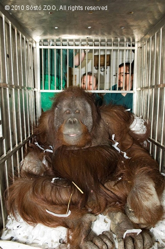 wando, nyíregyházi állatkert, orángután, majom
