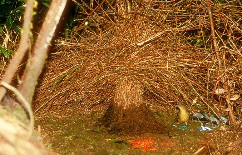 Amblyornis inornatus