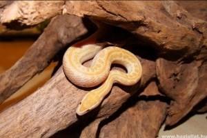 Kígyók a terráriumban: az afrikai házisikló és a kaliforniai királysikló