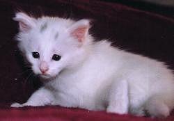 Török angóra macska, az ősi különlegesség