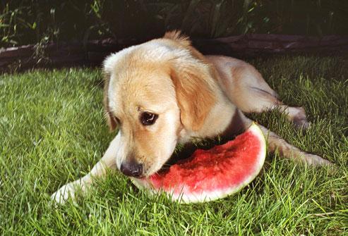 kutya, dinnye, étel