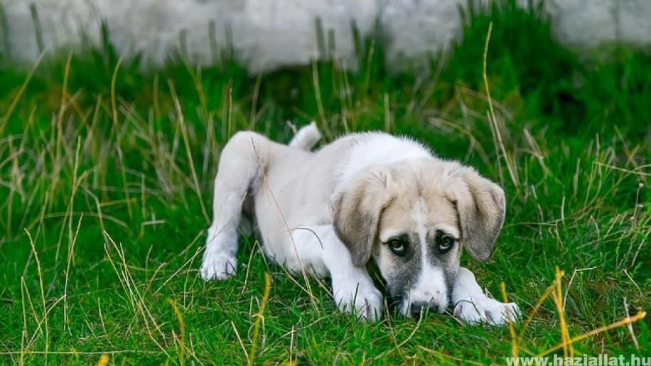 Megfázott a kutyád? A kennel köhögés gyógyítása