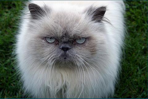 Himalája macska, a perzsahasonmás