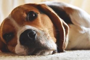 Miért és mikor érdemes ivartalanítani a kutyát?
