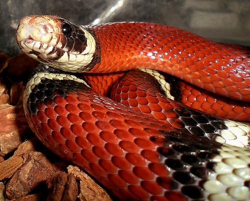 kígyó, sikló, terrárium