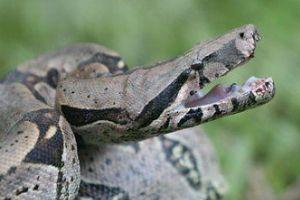 Hogyan bánjunk a nagytestű kígyókkal?
