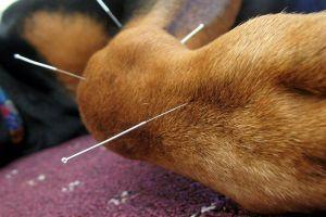 Alternatív állatgyógyászat: kutya akupunktúra