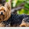 Milyen kutya a yorkshire terrier?