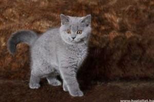 A brit macska a legintelligensebb?