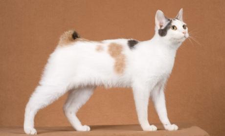 japán csonkafarkú macska, bobtail, cica