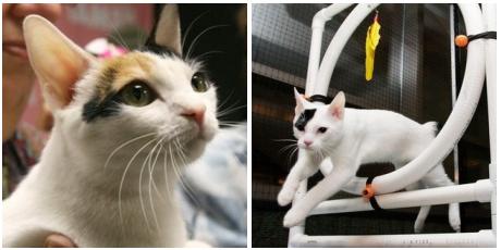 macska, cica, csonkafarkú macska