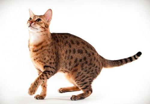 Ocicat macska