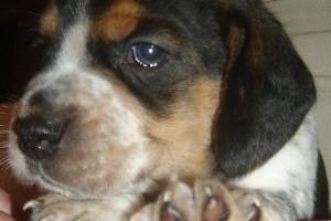 Beagle kiskutya