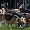 Beagle kennel