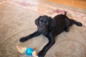 Labrador retriever trükkök