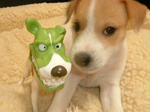 jack-russell-terrier-kolyok