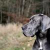 Német dog, a négylábú főnemes