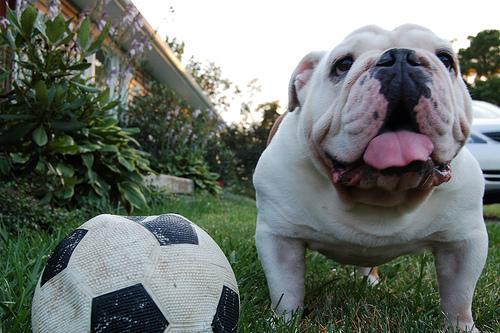 angol-bulldog-kutyus