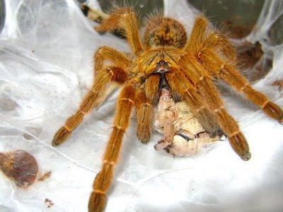 tarantula-pok
