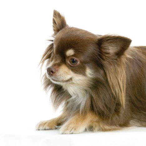 chihuahua, csivava, kutyakozmetika