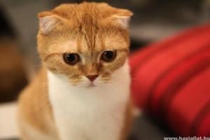 Skót lógófülű macska (Scottish fold)