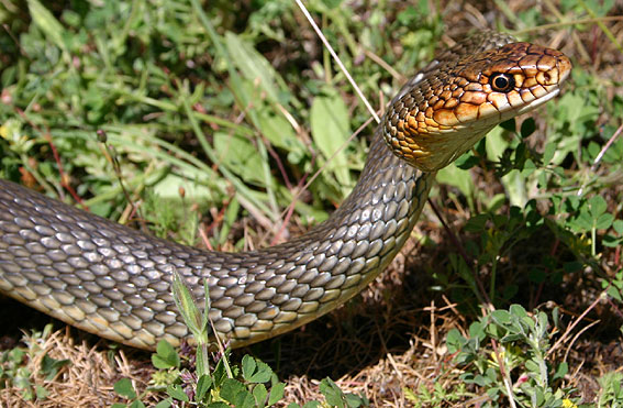 Dolichophis caspius, haragos sikló