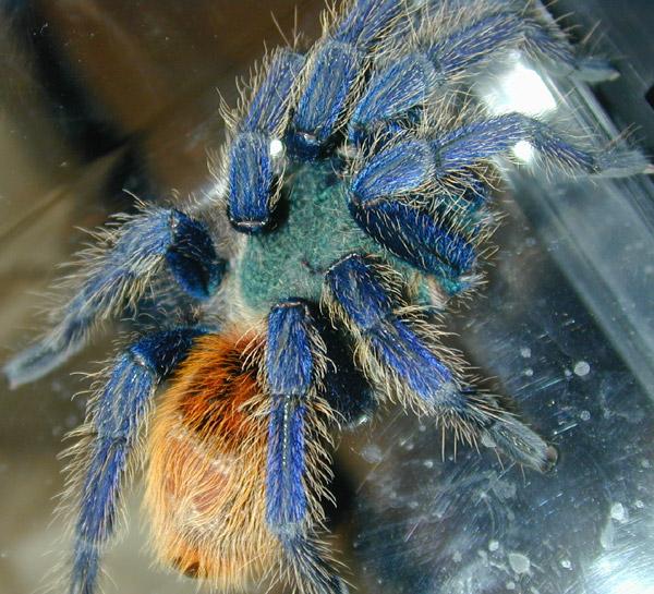 madárpók, tarantula, terrárium