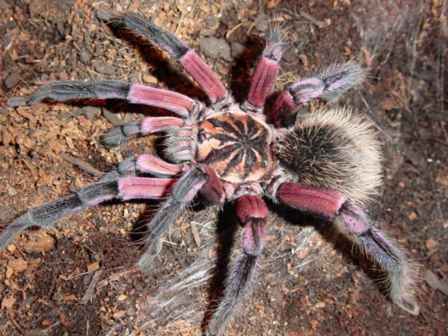 Xenesthis, madárpók, tarantula